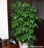 绿元宝—幸福树