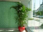 特大型凤尾竹