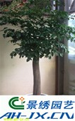 特大型幸福树